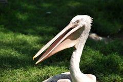 Bird - Pelican Stock Photography