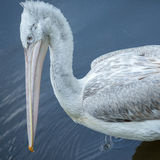 bird pelican head, texture, Stock Photo