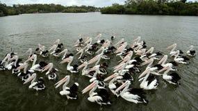 Bird, Pelican, Seabird, Vertebrate royalty free stock photos