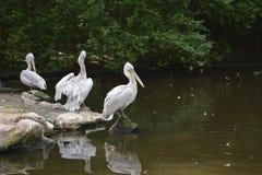 Bird, Pelican, Water, Fauna stock photos