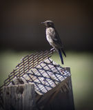 Bird on Perch. A bird on a wood and metal perch Stock Photography