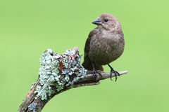 Bird On A Perch. Female Brown-headed Cowbird (Molothrus ater) on a perch Royalty Free Stock Images