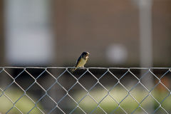 Bird Perch. Ing on a steel fence Royalty Free Stock Photo