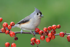 Bird On A Perch With Cherries Royalty Free Stock Image