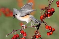 Bird On A Perch With Cherries Royalty Free Stock Images