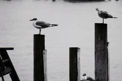 Bird on a perch. Seagulls pier seating Stock Photos