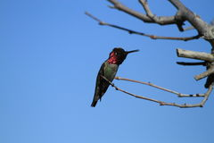 Hummingbird perched on branch Stock Image