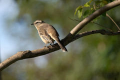 Bird perched on branch (Furnarius) Royalty Free Stock Photo