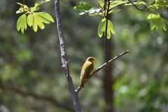 Yellow Bird perched in forest royalty free stock images