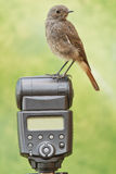 Bird perched on a camera flash Royalty Free Stock Photography