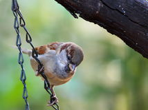 Bird perched on a chain Stock Images