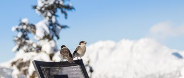 Bird perched on a chair with a snowy mountain in the background. stock photo