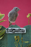 Bird perched on a December decorated fence Stock Image