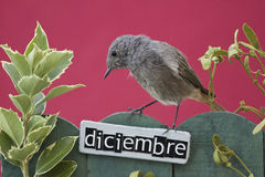 Bird perched on a December decorated fence Royalty Free Stock Images