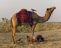 Bird perched on a dromedary. Stock Image