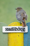 Bird perched on a fence decorated with the word or. Female Black redstart perched on a fence decorated with the word ornithology Royalty Free Stock Images