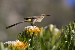 Bird perched on flower Royalty Free Stock Images
