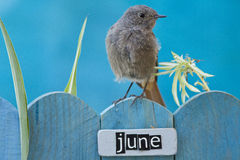 Bird perched on a June decorated fence Royalty Free Stock Image