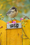 Bird perched on an May decorated fence Royalty Free Stock Photography