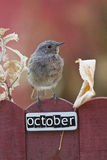 Bird perched on a October decorated fence Stock Photos