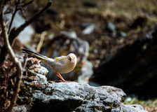 The bird perched on a rock. Stock Images