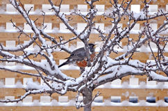 Bird perched in snow-covered tree. Pretty bird perched in snow-covered tree in winter Royalty Free Stock Photos