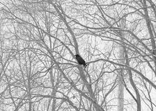 Bird perched in wintry trees. Black bird perched in white wintry tree branches Stock Photo