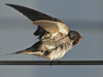 Bird perched on wire. Bird perched on wire flapping Royalty Free Stock Photos