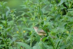 Bird perching on green leaf in garden : Plain Prinia Royalty Free Stock Photography