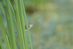 Bird perching on green leaf in garden : Plain Prinia Stock Photo