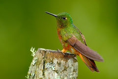 Bird from Peru. Orange and green bird in the forest. Hummingbird Chestnut-breasted Coronet, Boissonneaua matthewsii in the forest. Stock Photos