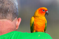 Bird Pet Man Shoulder Stock Image