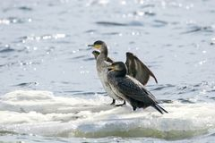 Bird of Phalacrocorax auritus floating on an ice floe on a rive. Image of a bird of Phalacrocorax auritus floating on an ice floe on a river Royalty Free Stock Photos