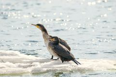 Bird of Phalacrocorax auritus floating on an ice floe on a rive. Image of a bird of Phalacrocorax auritus floating on an ice floe on a river Royalty Free Stock Photo