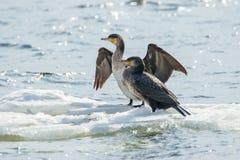 Bird of Phalacrocorax auritus floating on an ice floe on a river Stock Photography