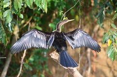 Bird . Phalacrocorax brasilianus, The Neotropic Cormorant found in Caño Negro, Costa Rica. The images contain a Neotropical cormorant Royalty Free Stock Photos
