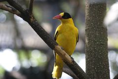 bird_of_a_pheasant_01 image stock