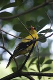 bird_of_a_pheasant_11 photo stock