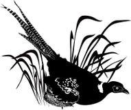 Bird pheasant. Vector on white background Royalty Free Stock Image