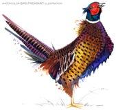 Bird pheasant watercolor illustration. Stock Images