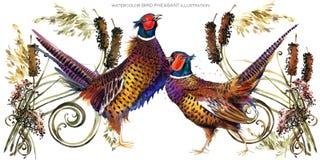 Bird pheasant watercolor illustration. Stock Photo