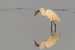 Bird Photo. An egret /ˈiːɡrət/ is a bird that is any of several herons, most of which are white or buff, and several of which develop fine plumes (usually Stock Photography