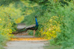 Bird Photo. Peafowl is a species of birds that include two Asiatic species (the blue or Indian peafowl originally of India and Sri Lanka and the green peafowl of Stock Images