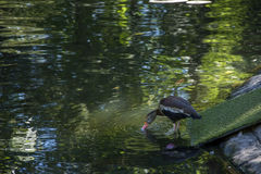 Bird 125. Photo of a bird in a pond with sunlight Stock Photos