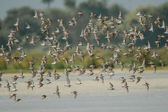 Bird Photo. Sandpipers have long bodies and legs, and narrow wings. Most species have a narrow bill, but otherwise the form and length are quite variable. They Stock Photography
