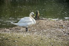 Bird 166. Photo of a swan with white colour and sunlight Stock Image