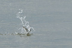 Bird Photo. The whiskered tern eats small fish, amphibians, insects and crustaceans Stock Photo