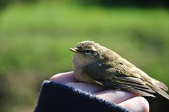 A bird (phylloscopus collybita). Holding a bird phylloscopus collybita (chiffchaff) in hand Royalty Free Stock Photography