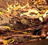 Bird phylloscopus on the wet organic soil taking a shower Royalty Free Stock Photos