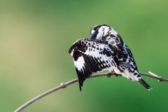 Bird Pied Kingfisher. Shoot from Bang ban Ayutthaya stock photo
